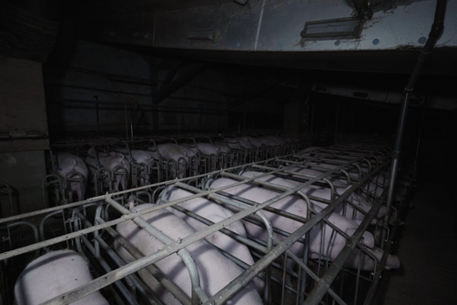 élevage intensif de cochons dans le Finistère