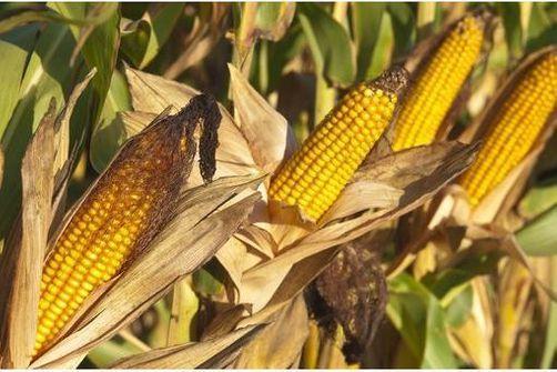OGM - Moratoire national