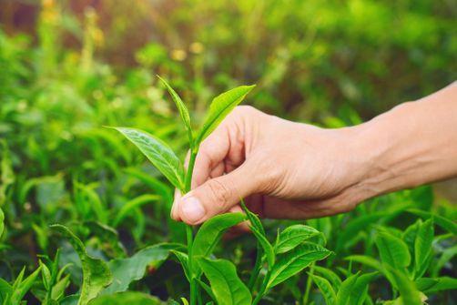 Cueillette de plantes sauvages : attention à l'intoxication