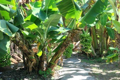 La chlordécone a été utilisé comme pesticide dans les bananeraies de Guadeloupe jusqu'en 1993