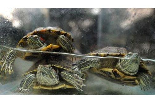 tortues domestiques