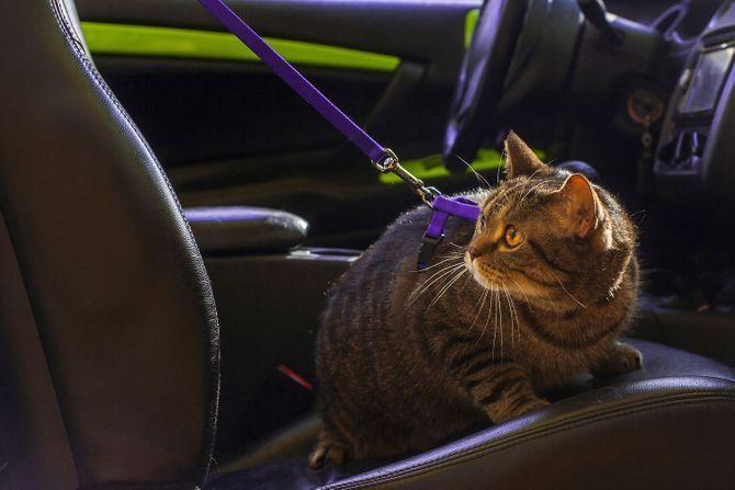 Mon chat est malade en voiture. Que faire ?