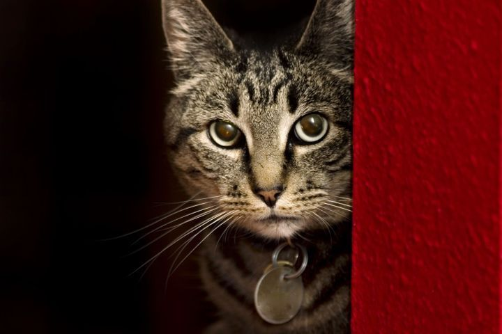 collier d'un chat