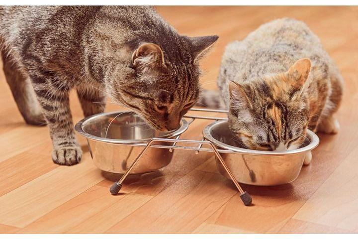 système digestif du chat