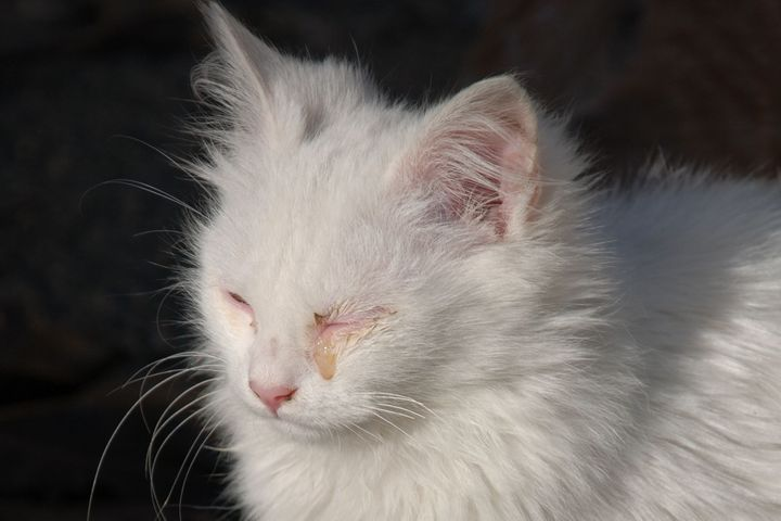 chaton oeil qui coule