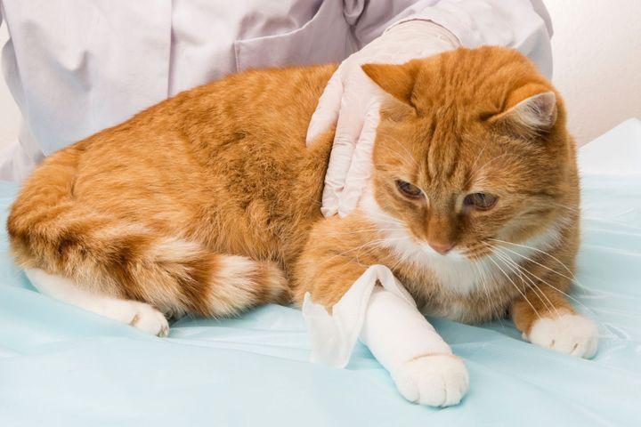 douleur à la patte chez le chat