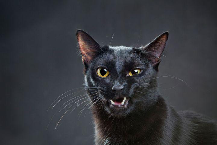 hypersalivation du chat
