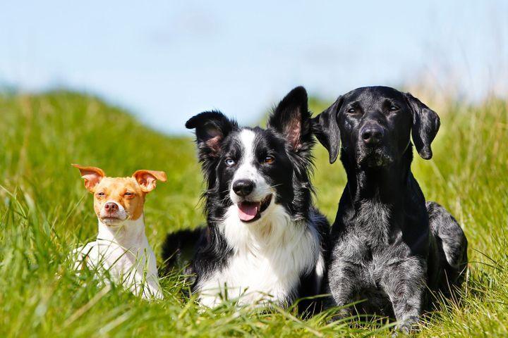 Cohabitation avec d'autres chiens