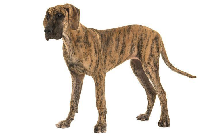 dogue-allemand