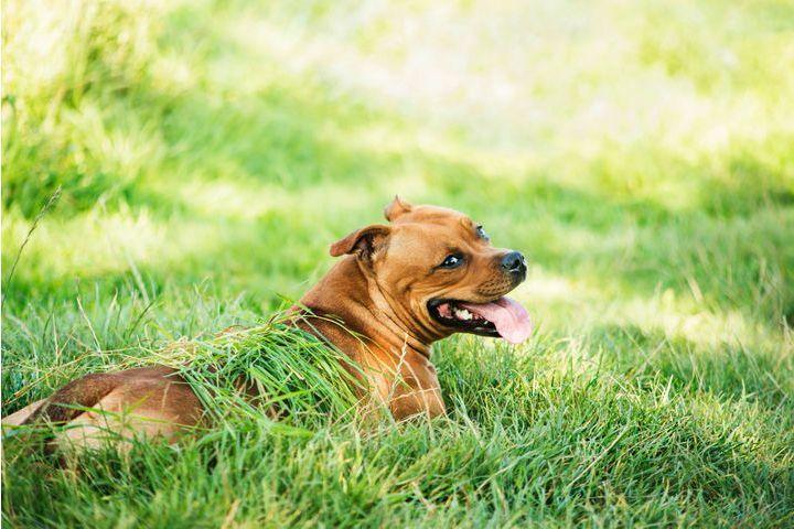 Coups de chaleur du chien