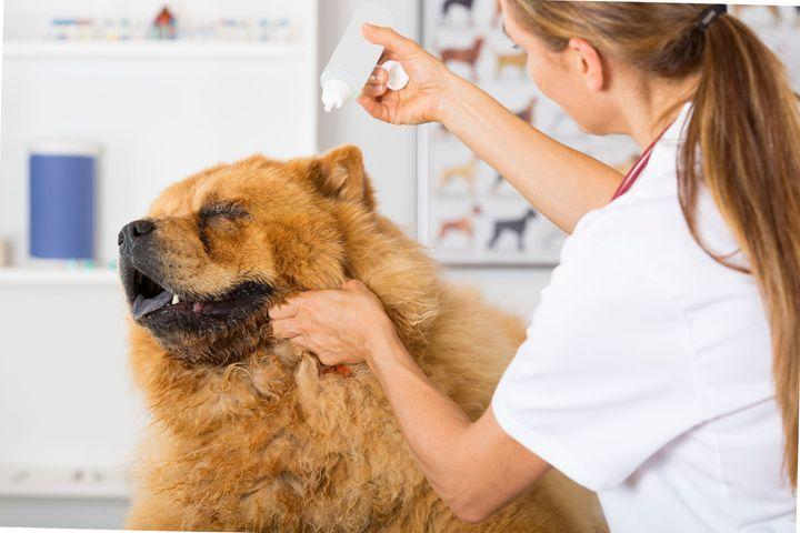 Donner des gouttes dans les oreilles d'un chien