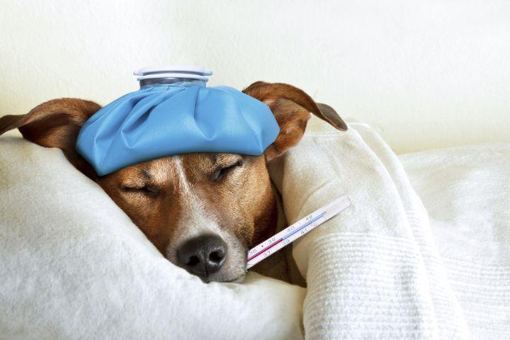 chien a de la fièvre