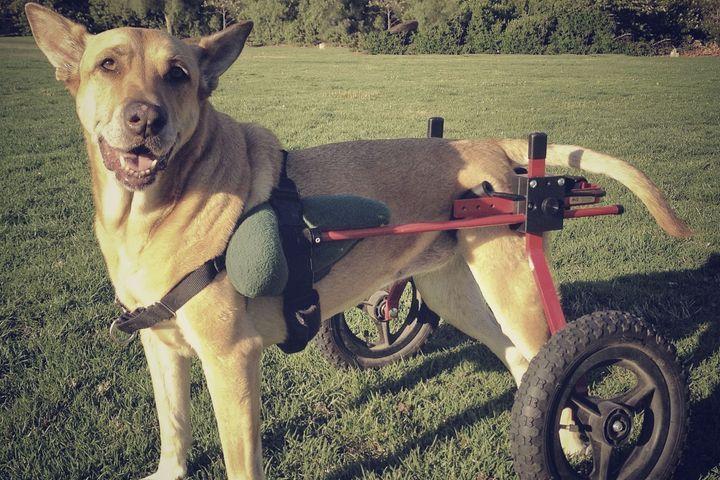 chien est paralysé