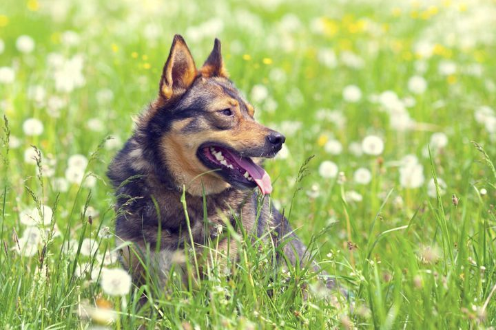 chien respire anormalement