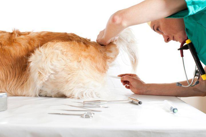 prendre la température d'un chien