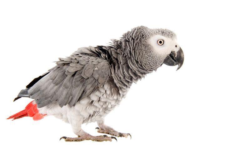 Intoxication chez l'oiseau