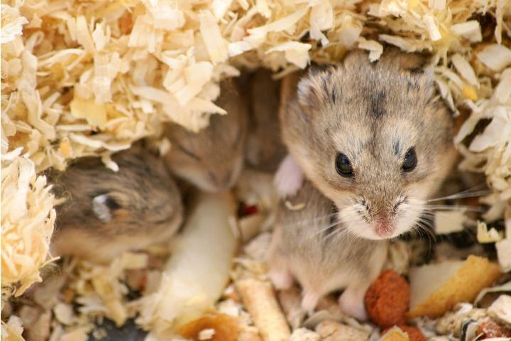 reproduction et élevage de hamsters