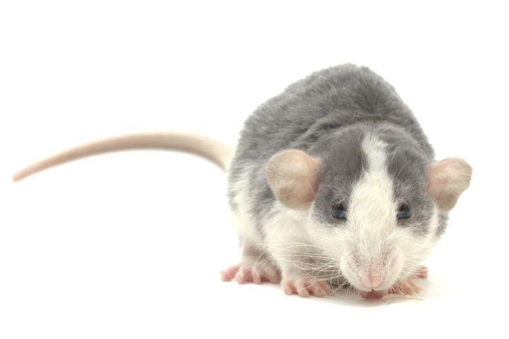 hydratation du rat