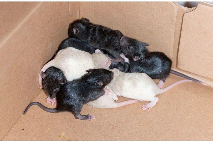 reproduction et élevage de rats