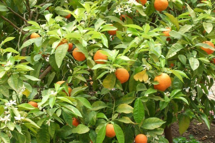 bigaradier (orange amère)