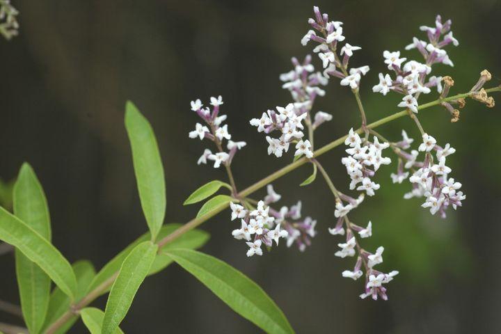 Huile essentielle de Verveine odorante