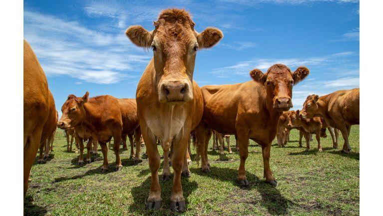 Que savez-vous de la vache folle ?