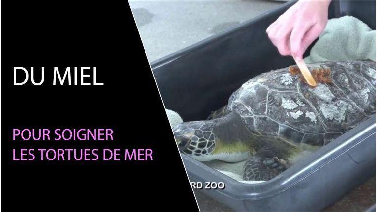 Du miel pour soigner les tortues de mer