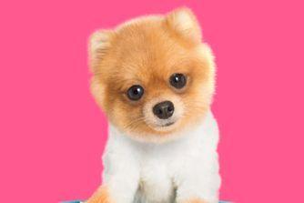 Mini chiens : 40 petites boules de poils à croquer !