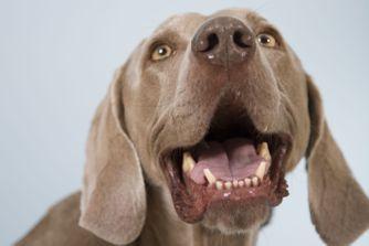 Mon chien a mauvaise haleine : que faire ?
