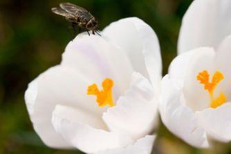 Solutions naturelles pour se débarrasser des mouches et moucherons