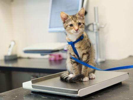 Mon chat est-il trop gros ou trop maigre ?