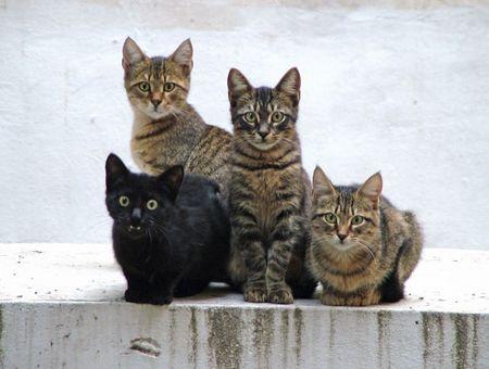 Chat de gouttière ou chat européen : lequel choisir ?