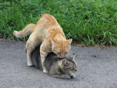 L'accouplement des chats