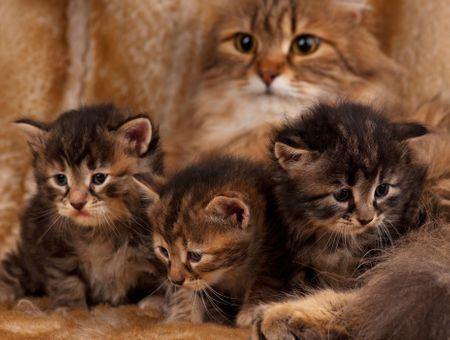 Les maladies génétiques du chat