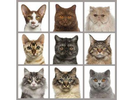 Photos de chat : les plus belles races de chat en images