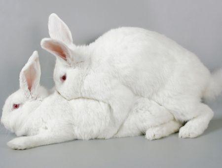 La reproduction du lapin