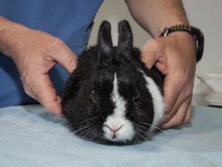 Troubles digestifs du lapin: quand consulter?