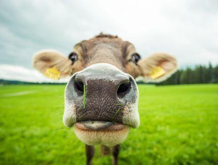 Royaume-Uni : Un Tinder pour bovins