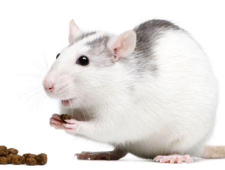 L'alimentation du rat