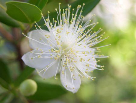 L'eau florale de myrte, pour les yeux et contre l'acné