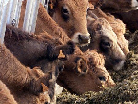 Vache folle : le rapport qui accuse les autorités anglo-saxonnes