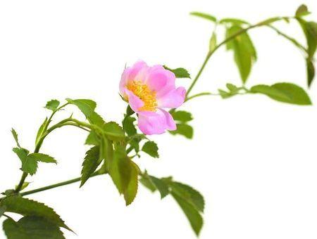 Wild Rose (Eglantier)