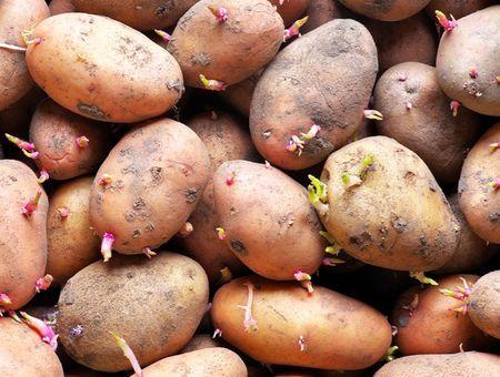 Peut-on manger des pommes de terre germées ?