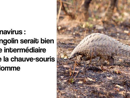 Les pangolins sont bien porteurs de souches de coronavirus