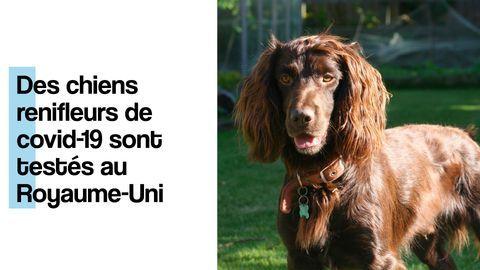 chien detection coronavirus