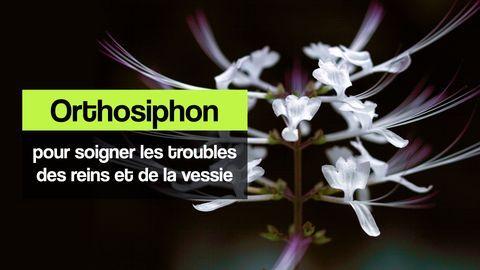orthosiphon reins et vessie