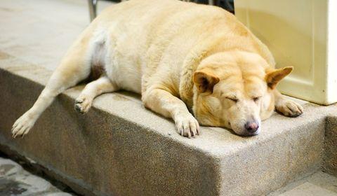 risques de l'obésité du chien