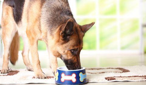 système digestif du chien