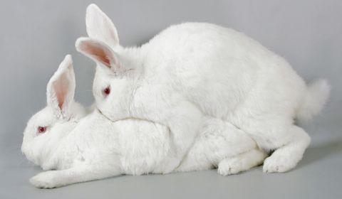 reproduction du lapin