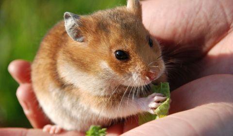 l'essentiel sur le hamster